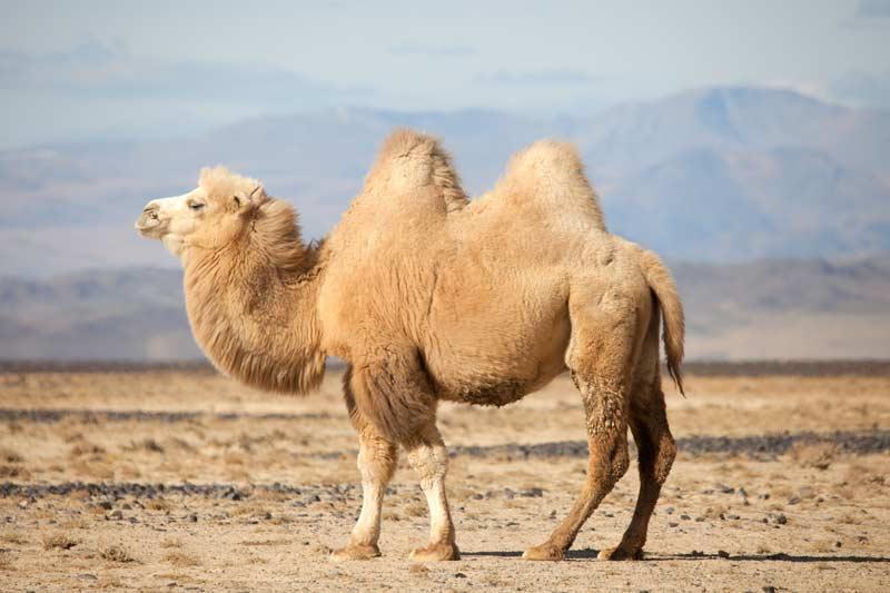 Kamel in einer sandigen Landschaft