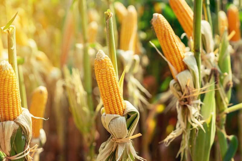 Maiskolben in einem Feld
